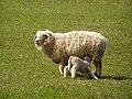 Frýdlantská pahorkatina, Nad Zátiším, ovce 01.jpg