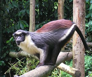 Mammalia in the 10th edition of Systema Naturae - The Diana monkey was given the names Simia diana and Simia faunua.