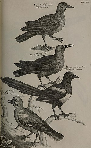 Francis Willughby - A page from Ray's Ornithologia, showing jackdaw, chough, magpie and jay, all crows
