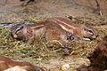 Frankfurt Zoo - Cape Ground Squirrel 1.jpg
