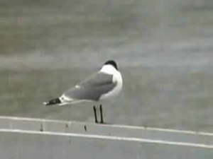 Archivo:Franklin's Gull.ogv