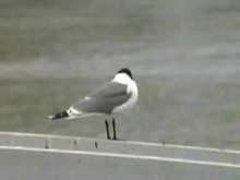 File:Franklin's Gull.ogv