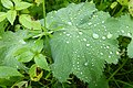 Frauenmantel-Blatt nach einem Regenguss.jpg