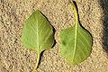 Fraxinus anomala leafunder.jpg