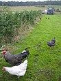 Free range chickens at Lower Farm - geograph.org.uk - 596515.jpg