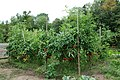 Freiland Tomaten2.jpg