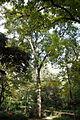 Freixe americà del Jardí Botànic Vell.JPG