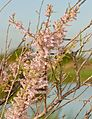 French Tamarisk (Tamarix gallica) (26227120030).jpg