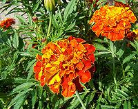 Tagetes patula (French Marigold)