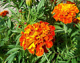 French marigold.jpg
