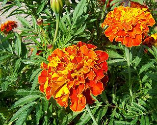 Marigold (color)