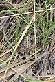 Frog - panoramio (11).jpg
