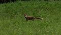 Fuchs-auf-Pirsch.jpg