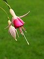 Fuchsia 'Triantha' 02.JPG