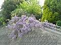 Fuji flower - 藤棚の道 - panoramio.jpg