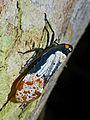 Fulgorid Hopper (Penthicodes farinosa) (15496098802).jpg