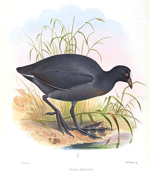 Andean coot - Image: Fulica Ardesiaca Smit