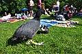 Fulica atra - Katzensee 2011-05-29 17-14-44.jpg