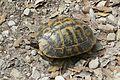 Full grown Tortoise in Menorca (14214169993).jpg