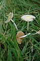 Fungi in a field at Syde - geograph.org.uk - 586409.jpg
