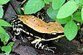 Fungoid Frog(india).jpg