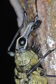 Fungus Weevil (Anthribidae) (8757499452).jpg