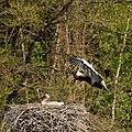 GIPE25 - Cigognes dans leur nid (by-sa).jpg
