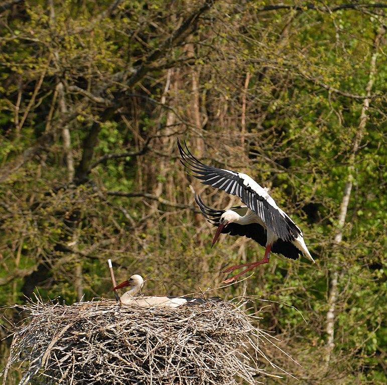 Bocian biely (lat. Ciconia ciconia) na hniezde