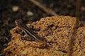 Galápagos lava lizard (4229018928).jpg