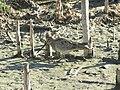 Gallinago hardwickii (12184541045).jpg