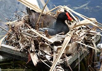 Common gallinule - Image: Gallinula galeata female nest