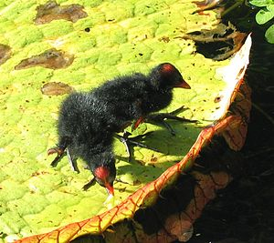 Hawaiian gallinule - Chicks on the leaf of a giant water lily