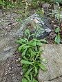 Gamochaeta pensylvanica plant.jpg