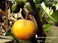 Garcinia xanthochymus fruit, persistent staminode column 01.jpg