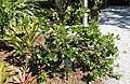 Gardenia taitensis - Naples Botanical Garden - Naples, Florida - DSC09906.jpg
