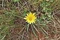 Gazania krebsiana (Asteraceae) (4760986921).jpg