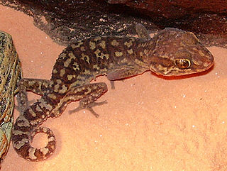 <i>Paroedura</i> Genus of lizards