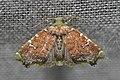 Geometridae (15067094738).jpg