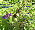 Geranium incanum schizocarp and mericarp IMG 8807c.jpg