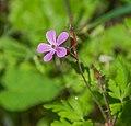 Geranium robertianum 21.jpg