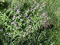 Geranium sylvaticum 04.jpg