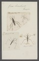 Gerris - Print - Iconographia Zoologica - Special Collections University of Amsterdam - UBAINV0274 041 09 0003.tif