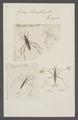 Gerris - Print - Iconographia Zoologica - Special Collections University of Amsterdam - UBAINV0274 041 09 0003.tif