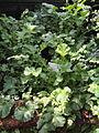 Geum magellanicum - Palmengarten Frankfurt - DSC01953.JPG