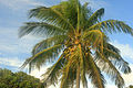 Gfp-coconut-tree.jpg