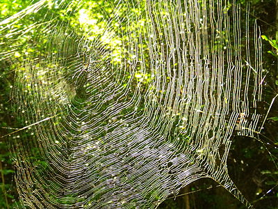 Giant Wood Spider (Nephila pilipes) web - Mysore, KA, India.jpg