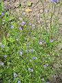 Gilia tricolor01.jpg