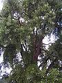 Ginkgo biloba in Lucenec6.jpg