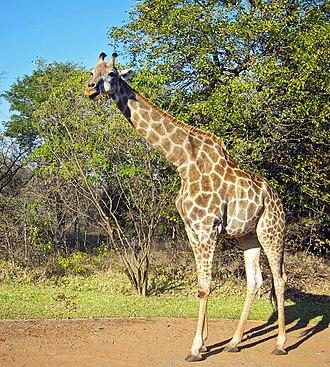 Southern giraffe - Image: Giraffa camelopardalis Zambia 8