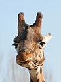 Giraffe, Giraffa camelopardalis 7.JPG